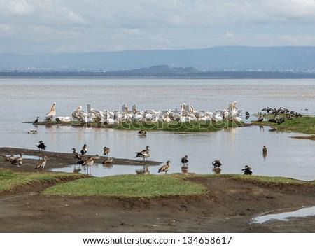 White pelicans at the Lake Nakuru National Park - Kenya, Eastern Africa - stock photo