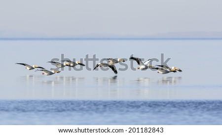 White pelicans taking flight over Salton Sea, California - stock photo