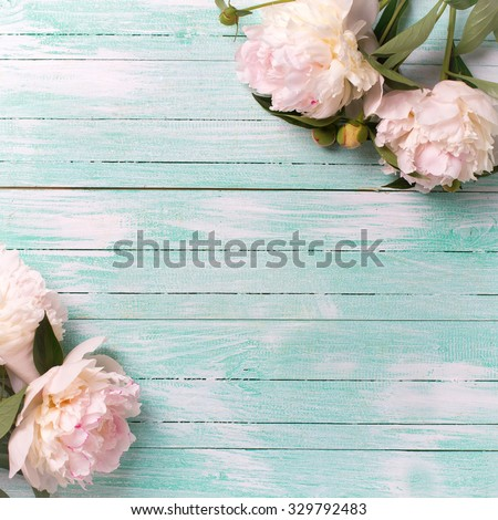 White  peonies flowers on turquoise painted wooden planks. Selective focus. Place for text. Square image. - stock photo