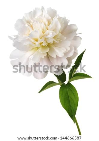 white peony flower - stock photo
