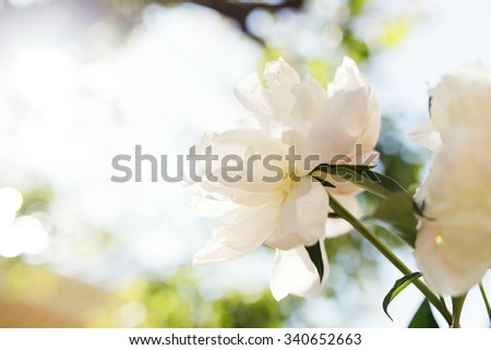 White peony on a background of the summer garden - stock photo