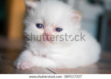 White Persian cat kitten is laying  - stock photo