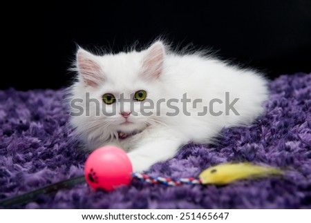White persian kitten with toy - stock photo