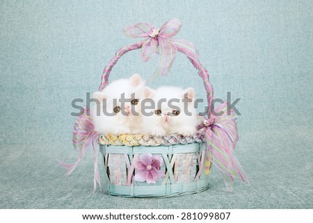 White Persian kittens sitting inside blue and lilac basket decorated with ribbons and bows on mint green background  - stock photo