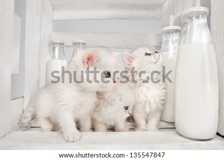 White Persian pussy cats with milk on white wooden  background - stock photo