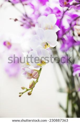 white Phalaenopsis orchid flower branch - stock photo