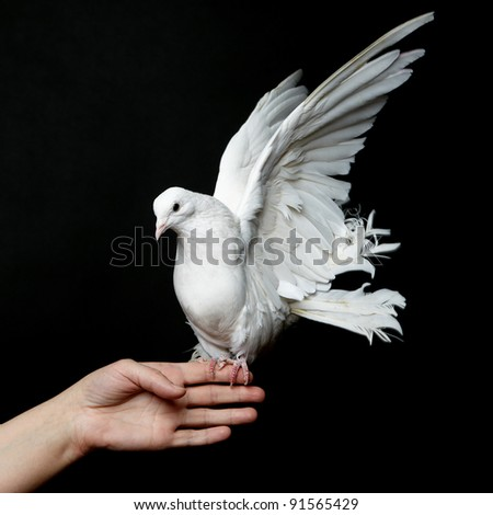 White Pigeon and Female Hand on Black Background - stock photo