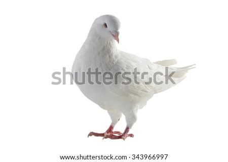 white pigeon on a white background - stock photo