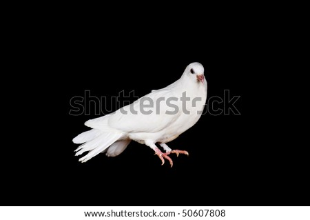 White pigeon sit on  wooden crossbeam close up - stock photo