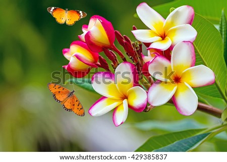 white , pink and yellow Plumeria spp. (frangipani , Frangipani , Pagoda tree  or Temple tree )  and Common Tiger butterfly (Danaus genutia) flying on natural light background - stock photo