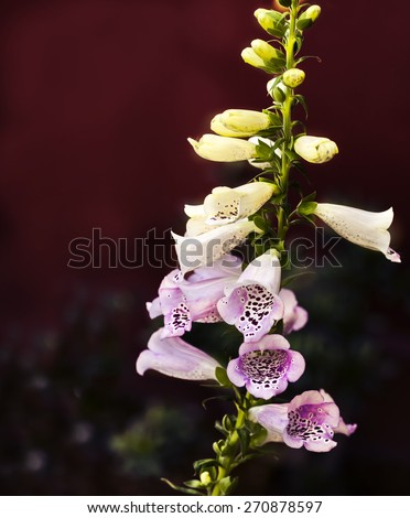 White pink bell flowers, spring Convallaria majalis, or lily of the valley blooming close up, Bell-shaped foxgloves in summer bloom; this is a source of medicine known as Digoxin (British Formulary) - stock photo