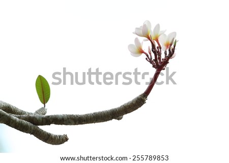 White pink plumeria flowers on branch isolated - stock photo