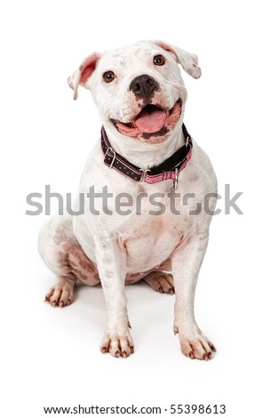 White Pit Bull dog wearing a pink and black collar with a big smile on her face - stock photo