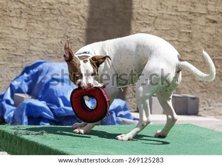 White pitbull dog playing and shaking a tug toy - stock photo