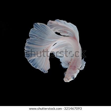 White Platt Platinum Siamese Fighting Fish .White siamese fighting fish, betta fish isolated on black background.  - stock photo