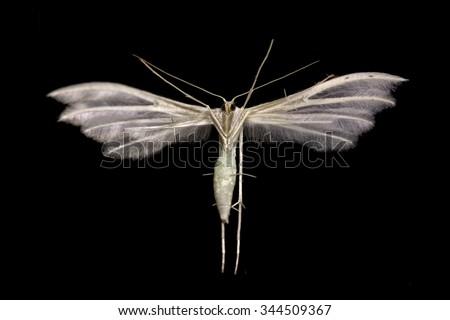 White Plume moth (Pterophorus pentadactyla) is sticking on the window pane (manual focus) - stock photo