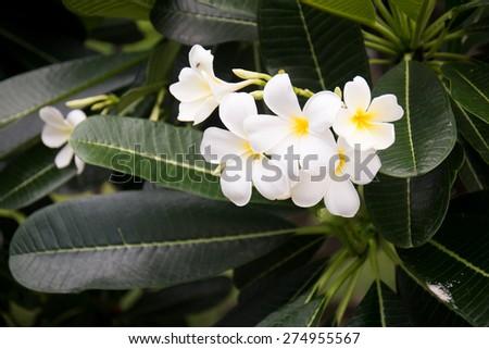 white Plumeria flower - stock photo