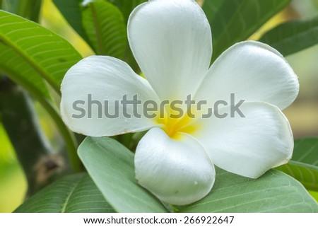 White plumeria flower blooming in the garden - stock photo