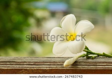 white plumeria flower with blur background - stock photo