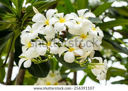 White plumeria flowers - stock photo