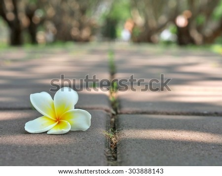 White plumeria on the floor of plumeria tree tunnel. Blur background and copy space on right side. - stock photo