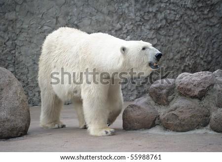 White polar bear female - stock photo