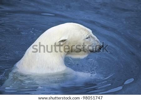 White polar bear in water - stock photo