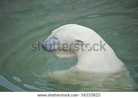 White polar bear swimming in water - stock photo