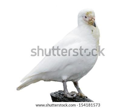 White polar bird isolated on white - stock photo
