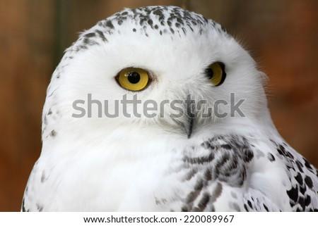 white polar owl sitting on a stick in the zoo - stock photo