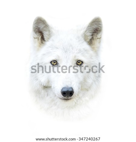 white polar wolf face isolated on white - stock photo