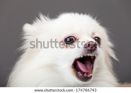 White pomeranian barking - stock photo