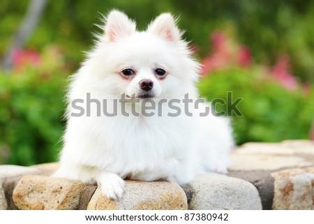 white pomeranian dog - stock photo