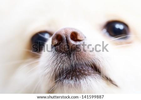 White pomeranian dog close up - stock photo