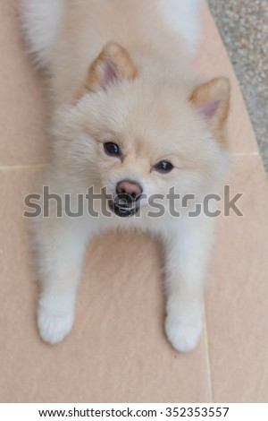 white pomeranian dog happy smile, cute pets friendly in home - stock photo