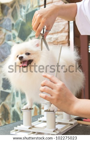 white pomeranian is cutting - stock photo