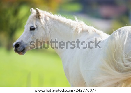 White pony close up on green background, Welsh pony. - stock photo