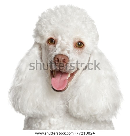 White poodle puppy smiles. Close-up portrait on a white background - stock photo