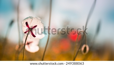 White poppies on the field,summer in the nature - stock photo