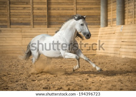 White PRE horse runs gallop in the manege - stock photo