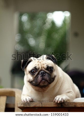 white pug laying on a table outdoor under natural sunlight  making sadly face with expression of thinking, lonely, sad, wisdom, waiting, visionary, serious - stock photo