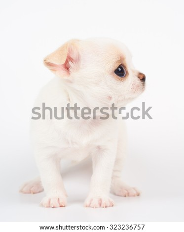 White puppy of Chihuahua sits on white background                 - stock photo