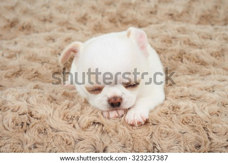 White puppy of Chihuahua sleeps on beige mat          - stock photo