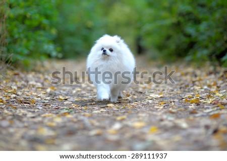 White puppy of pomeranian spitz walking outdoor - stock photo