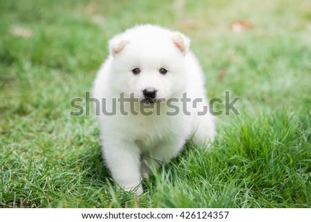White puppy waking on green grass under sunlight - stock photo