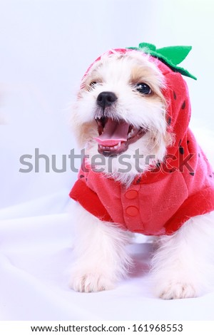 White  puppy wearing a red shirt. isolated on a white background . - stock photo