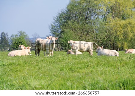 White purebred Normandy cows on summer pasture - stock photo