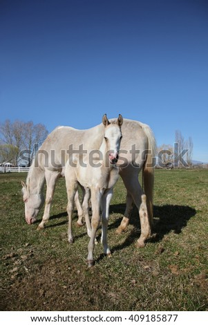 white quarter horse and foal standing in a field grazing on grass - stock photo