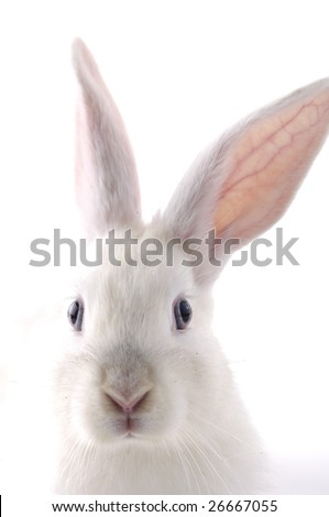 White Rabbit Close up - stock photo