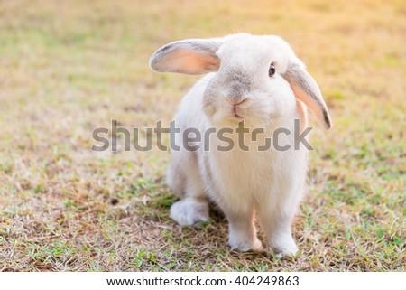 white rabbit in grass, morning light - stock photo
